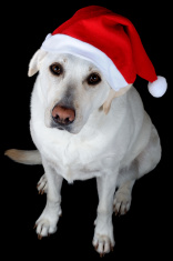 Dog with Santa's hat