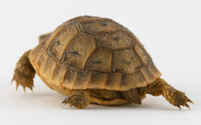 Baby Turtle Walking Away
