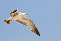 Seagull Bird Flying