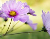Pastel Cosmos Flower