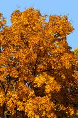 Great Golden Autumn Colors
