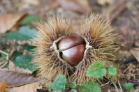 Chestnut Husk full