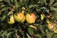Golden apples on tree