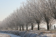 Frozen trees in Holland