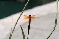 Orange Dragon Fly