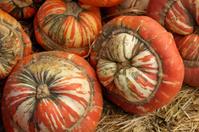 Harvested Turban Squash