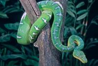 Snake-Emerald tree boa