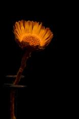 Dry flower on black