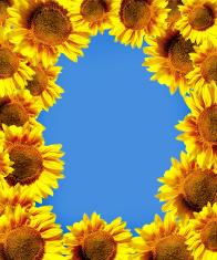 sun flowers over blue sky