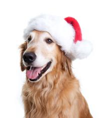 Happy Golden Retriever with a Santa Hat