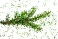Christmas tree branch