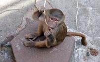 Baby baboon (papio)