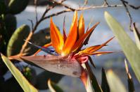 Bird of paradise - Strelitzia reginae