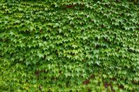 Stock Photo of Ivy