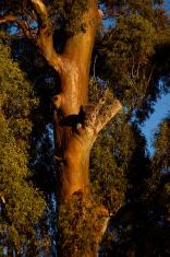 Australian Eucalyptus Tree