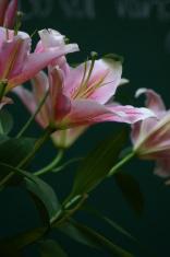 Tiger lilies (Flower)