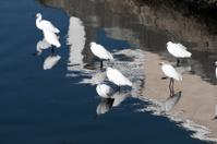 Group of little egrets, Egretta garzetta