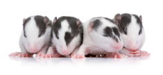 Baby Rats in a row