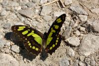 Malachite Butterfly Sunbathing