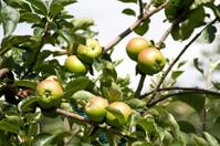 Apples on tree 2