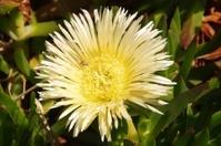 Yellow pigface daisy plant, Carpobrotus Spp.