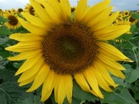 Sunflower and Bee in Field 1