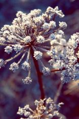 frozen-over hog weed