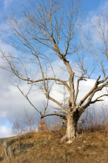Old, Bare Tree
