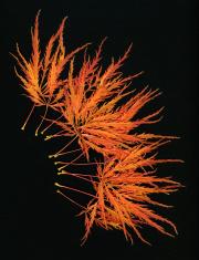 Japanese Maple Autumn Color