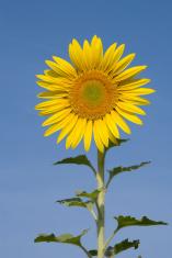 Portrait Sun Flower