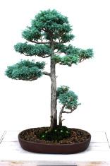 Bonsai - sawara false cypress