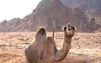 yelling camel