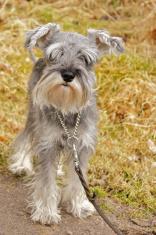Miniature Schnouzer Dog