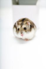 Run Away Hamster