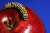 monarch caterpillar on apple