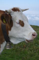 thinking cow