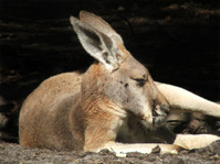 Animal - kangaroo