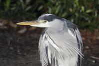 Adult grey heron resembles chinless wonder