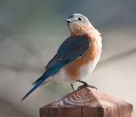 Eastern Bluebird posing.
