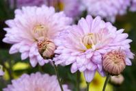 Pink colored michaelmas daisies