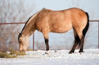 Horse feeding in winter