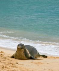 Wild Monk Seal