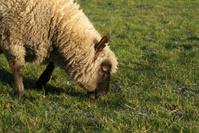 sheep enjoying the grass