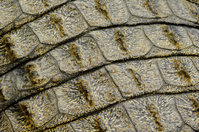 Crocodile tail armour