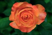 same beautiful rose