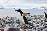Gentoo Penguin - Antarctica Safari Scene