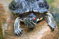 Red Eared Slider Turtle (Trachemys scripta elegans)