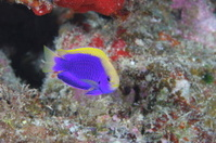 Young Blue and Yellow Fish