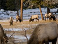 Elk Grazing in Rocky Mountain National Park