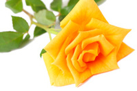 Dark yellow rose on white